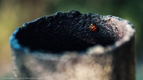 Ein kleiner Marienkäfer der in einem verrusten, schwarzen Rohr sitzt.