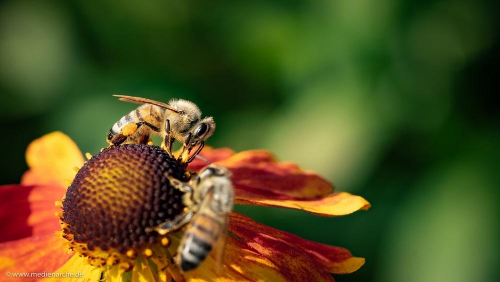 Zwei Bienen, die an einer Blume fleißig Nektar sammeln.